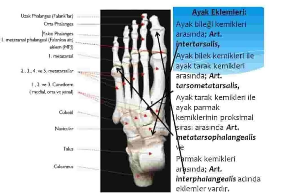 ayak-eklemi-anatomisi