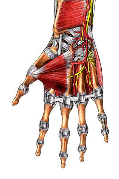 Caput transversum