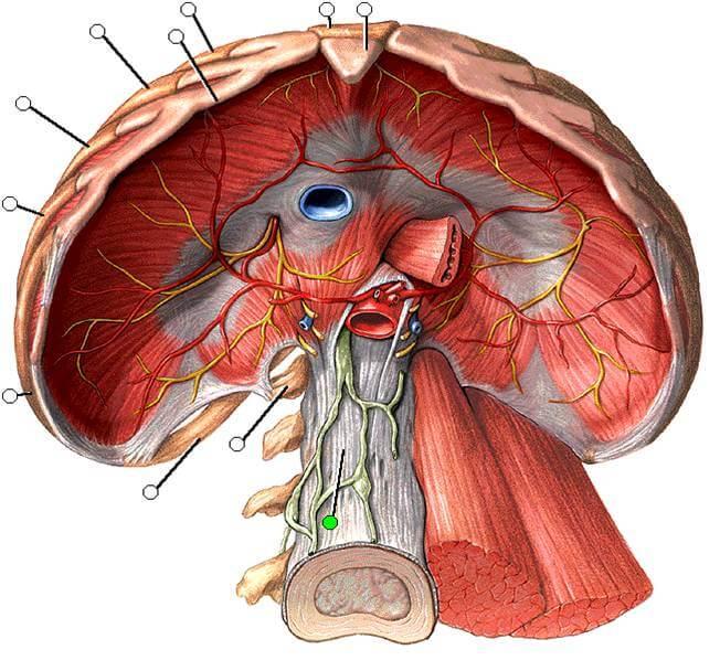 Hiatus aorticus
