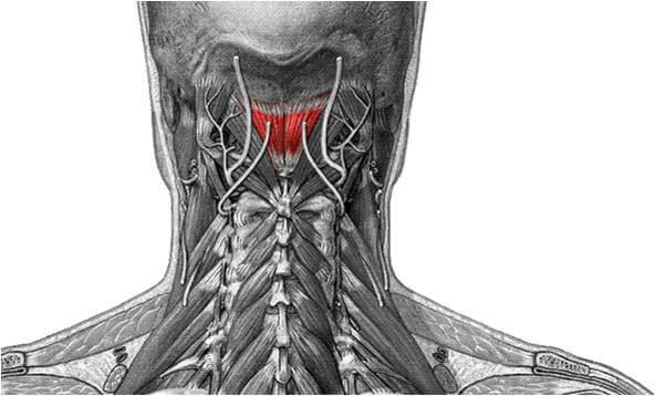 M. rectus capitis posterior minor