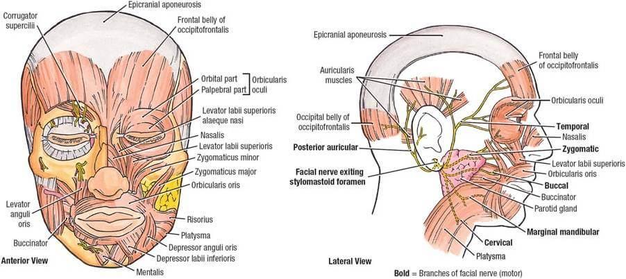 facial muscle 1