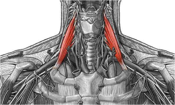 scalenus anterior