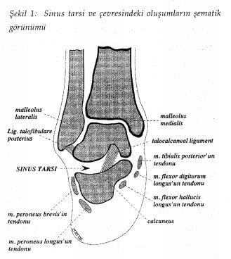 sinüs tarsi anatomisi