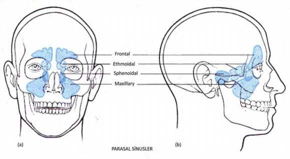 sinuslar