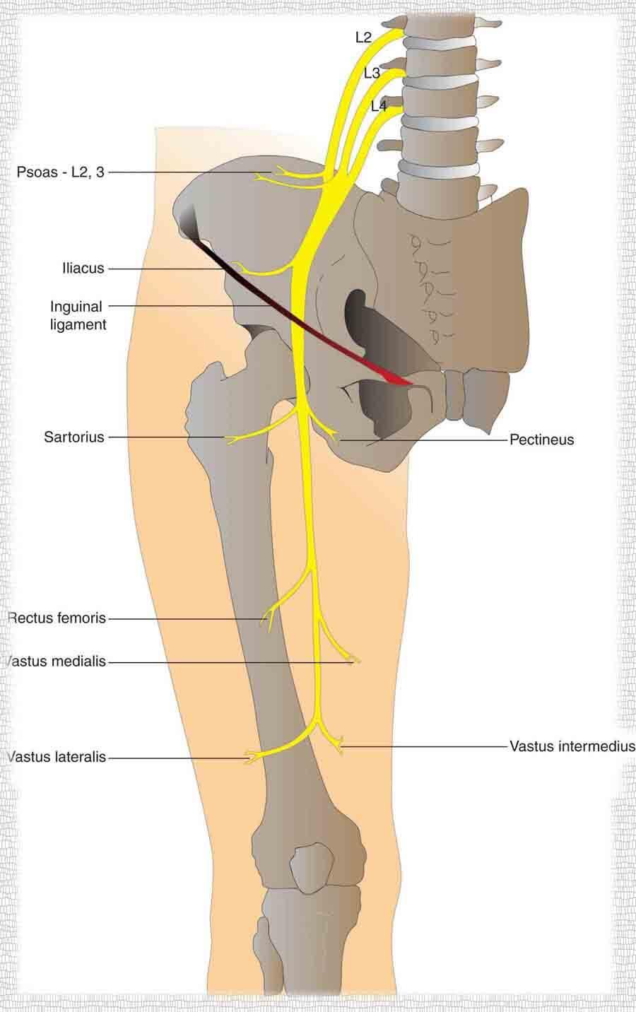 femoral sinir innervasyon