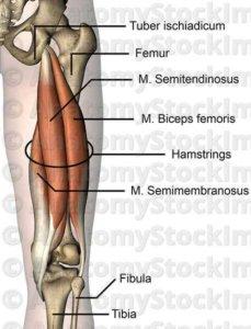 hamstring hamstring kasları hangileri