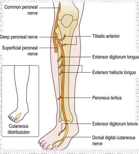 peroneus sinir inervasyonu