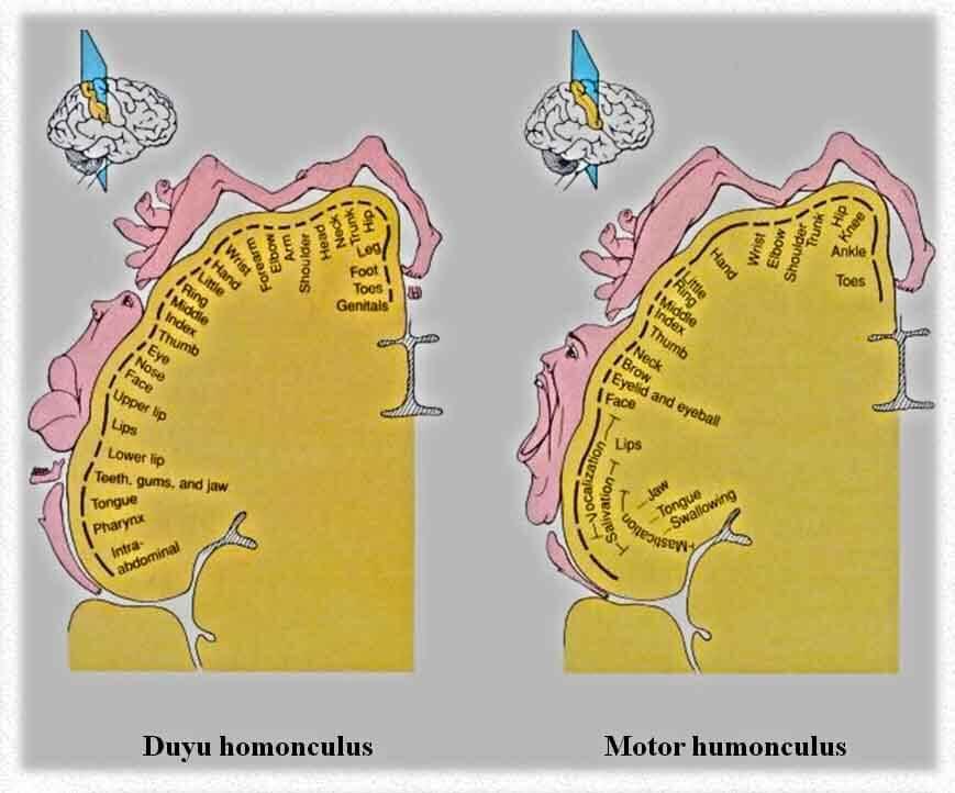 homonculus fizyoo