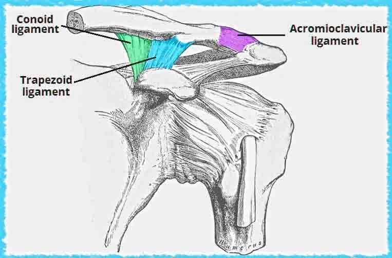 akromioklavikular eklem bağları