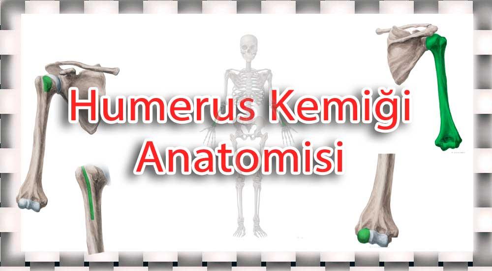 humerus anatomisi