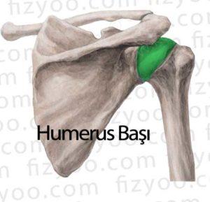humerus başı