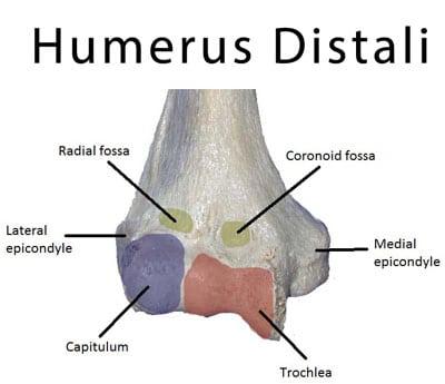 humerus distali