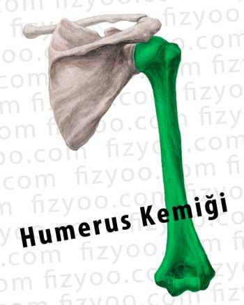 humerus kemiği